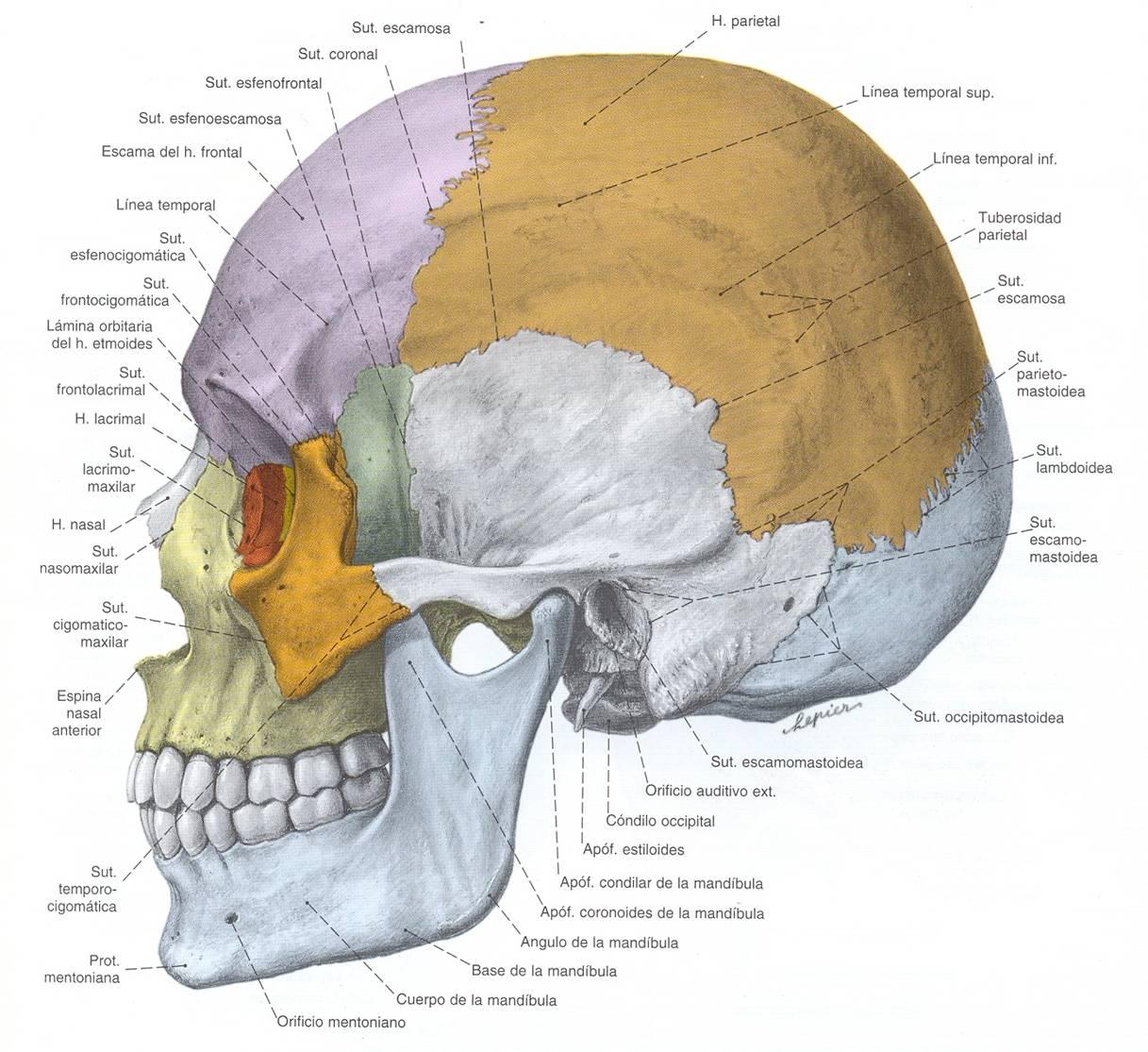 El Cráneo Humano