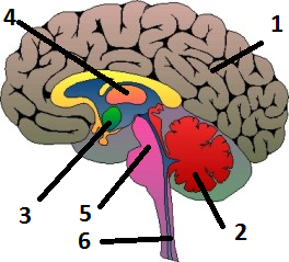 5 funciones del cerebro