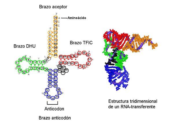celula procariota y eucariota. En la célula, el ADN se