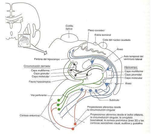 esquema do cerebro